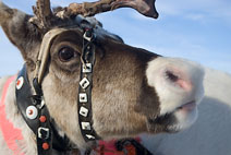 reindeer in Lapland, northern Scandinavia